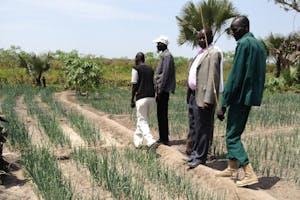 Men walking in field of growing onions