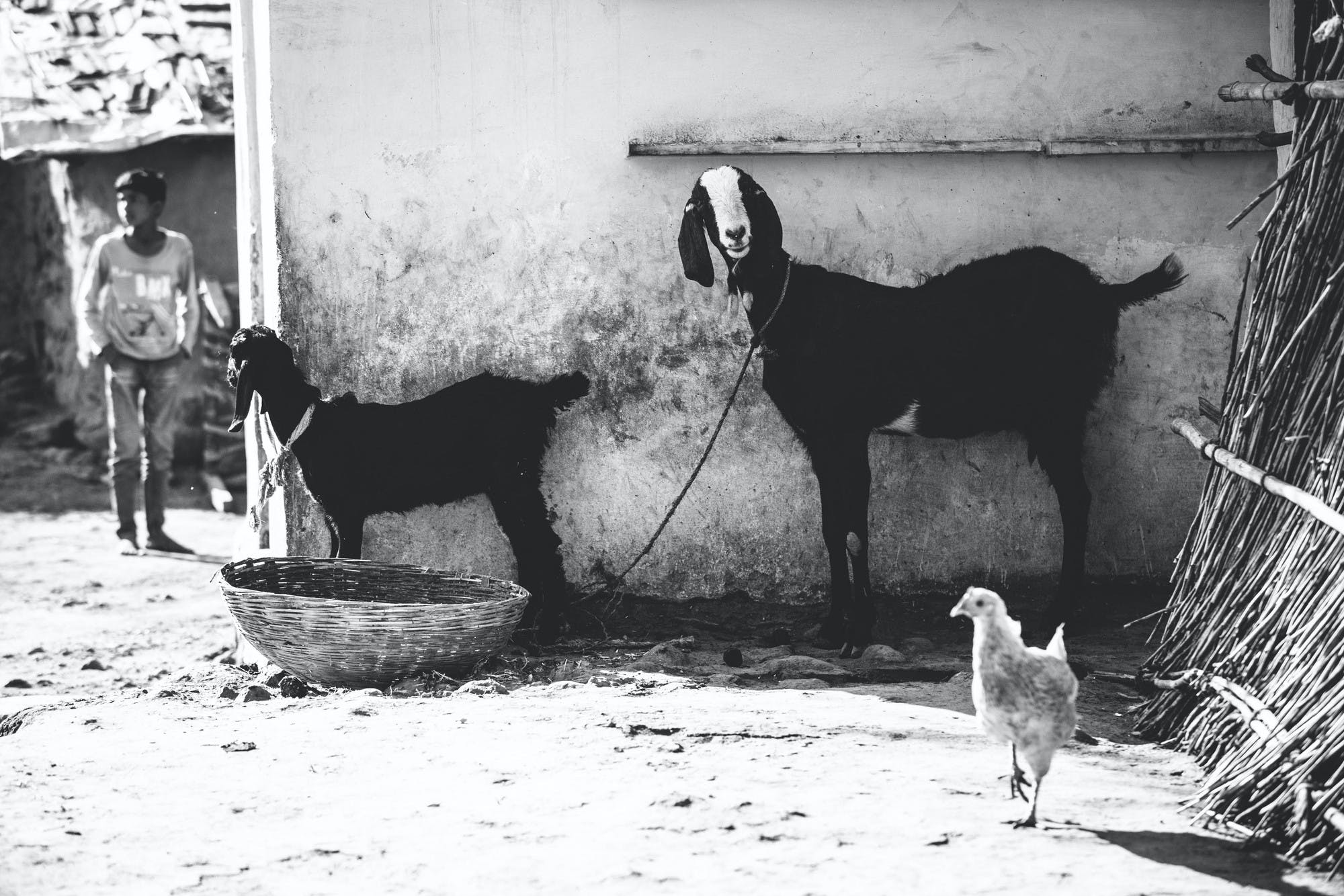 Goats make a difference all around the globe. These goats are making a difference in India.