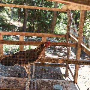 Chicken in a chicken coop