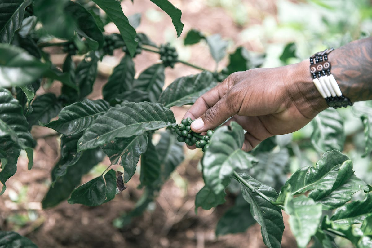 Close up shot of a hand touching green coffee plant berries in Uganda