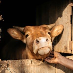 Cow in Burundi