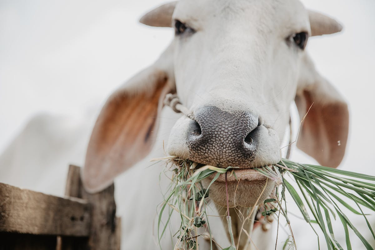 Closeup of a white cow chewing grass