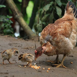 Mother hen with her two chicks