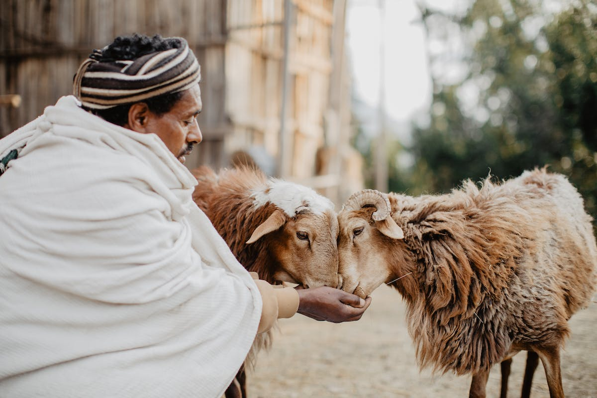 Ethiopian man feeds sheep out of his hands