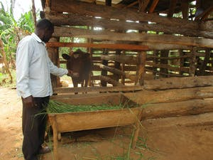 A cow and other livestock contribute to Mr. Pooinga's successful farming ventures.